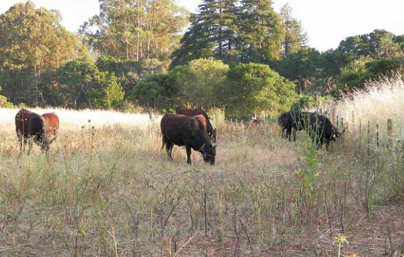 hash cows